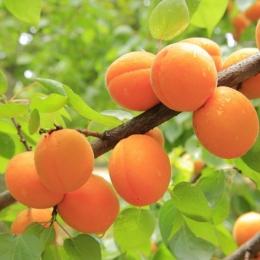 Abrikoos 'Tros Oranje' als leiboom