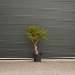 Granaatappelbomen