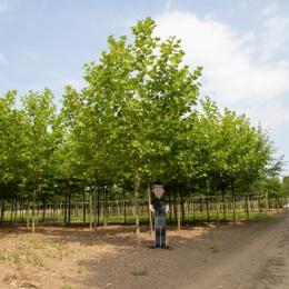 Platanenboom volgroeid