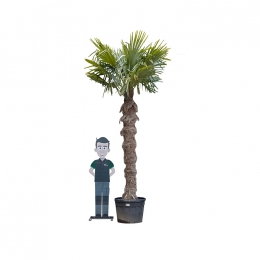 Chinese waaierpalm 240 cm stamhoogte
