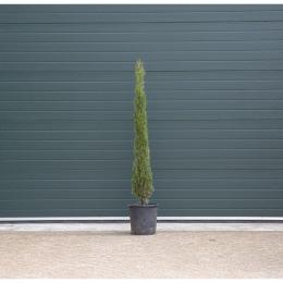 Italiaanse cipresboom 150 cm