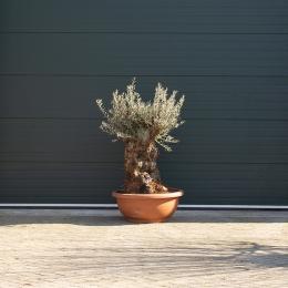 Olijfboom 'Bonsai' decoschaal