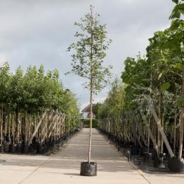 Gewone krentenboom