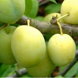 Prunus D. Reine Claude Verte