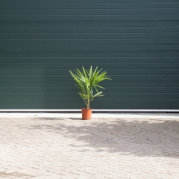 Chinese waaierpalm 15 cm stamhoogte