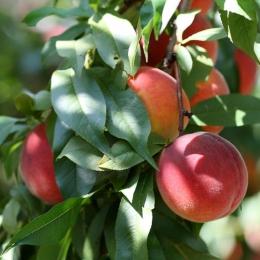 Nectarine 'Mme Blanchet'