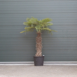 Chinese waaierpalm 110 cm stamhoogte