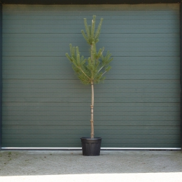 Naaldbomen