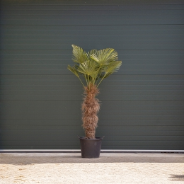 Wagner palm