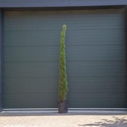 Italiaanse cipresboom 250 cm