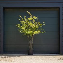 Krentenboom meerstammig