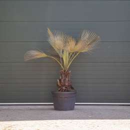 Mexicaanse blauwe palm