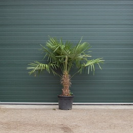 Chinese waaierpalm 50 cm stamhoogte