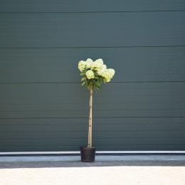 Hortensia 'Lime light' halfstam