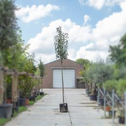 Grote perenboom Gieser Wildeman