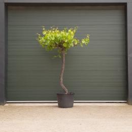 Druivenboom dakvorm