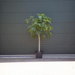 Vijgenboom 16/18 cm