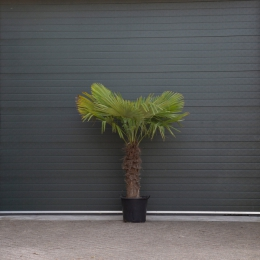 Chinese waaierpalm 80 cm stamhoogte