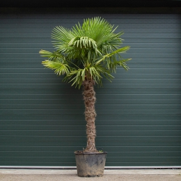 Chinese waaierpalm 170 cm stamhoogte