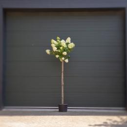 Hortensia 'Lime light hoogstam