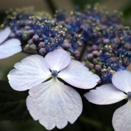 Fluweel Hortensia