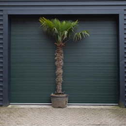 Chinese waaierpalm 210 cm stamhoogte
