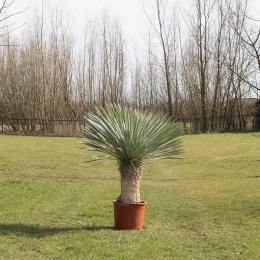 Yucca (palmlelie)