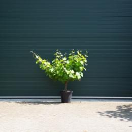 Witte druif op stam