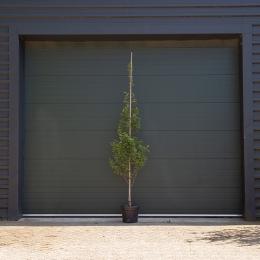 Zuil krentenboom