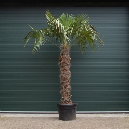 Chinese waaierpalm 160 cm stamhoogte
