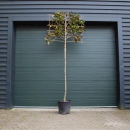 Magnolia grandiflora als leiboom 240 cm