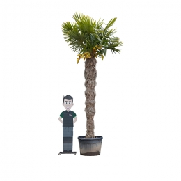 Chinese waaierpalm 250 cm stamhoogte
