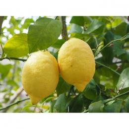 Zure citroen boom