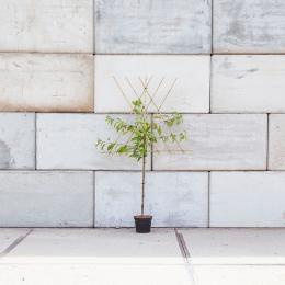 Prunus a. 'Varikse Zwarte' als leiboom