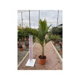 Majestueuze palm