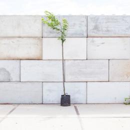 Prunus a. 'Bigarreau Burlat'
