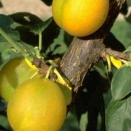 Prunus D. Reine Claude d'oullins