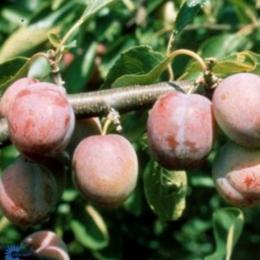 Prunus D. Opal