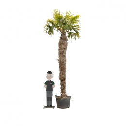 Chinese waaierpalm 300 cm stamhoogte
