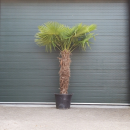 Chinese waaierpalm 150 cm stamhoogte