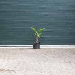 Chinese waaierpalm 20 cm stamhoogte