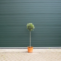 Bol olijfboom