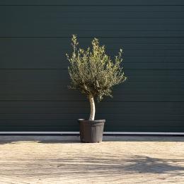 Olijfboom laag vertakt XL