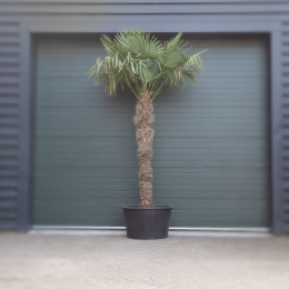 Chinese waaierpalm 200 cm stamhoogte