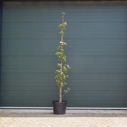 Kornoelje boom