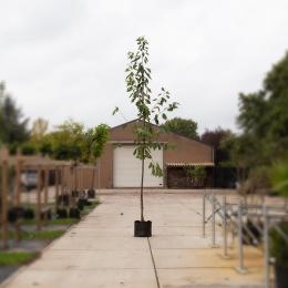 Prunus a. 'Stella'