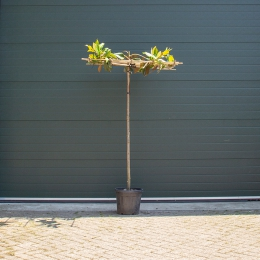 Magnolia grandiflora vierkantdak