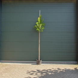 Andere bloesem bomen