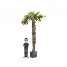 Chinese waaierpalm 280 cm stamhoogte