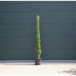 Italiaanse cipresboom 175 cm